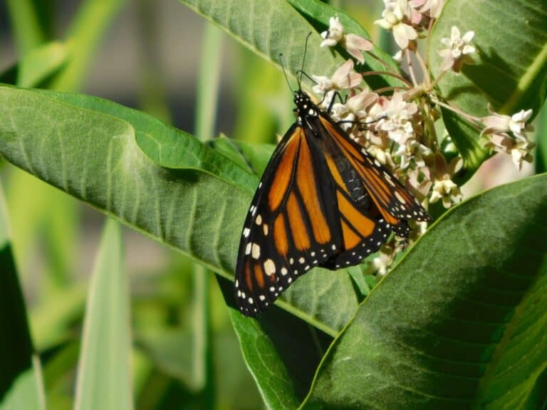 Monarch Butterfly Photo by Robert Vergeson on Unsplash